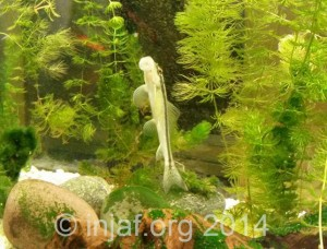 A young Gyrinocheilus aymonieri aka Chinese Algae Eater - these can grow large and become aggressive