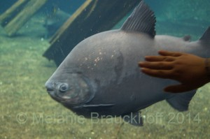 Pacu are another commonly available tankbuster species