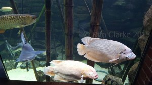 These giant gourami at Bristol Zoo are making the most of having the size of tank they need, not a fish for the average domestic aquarium