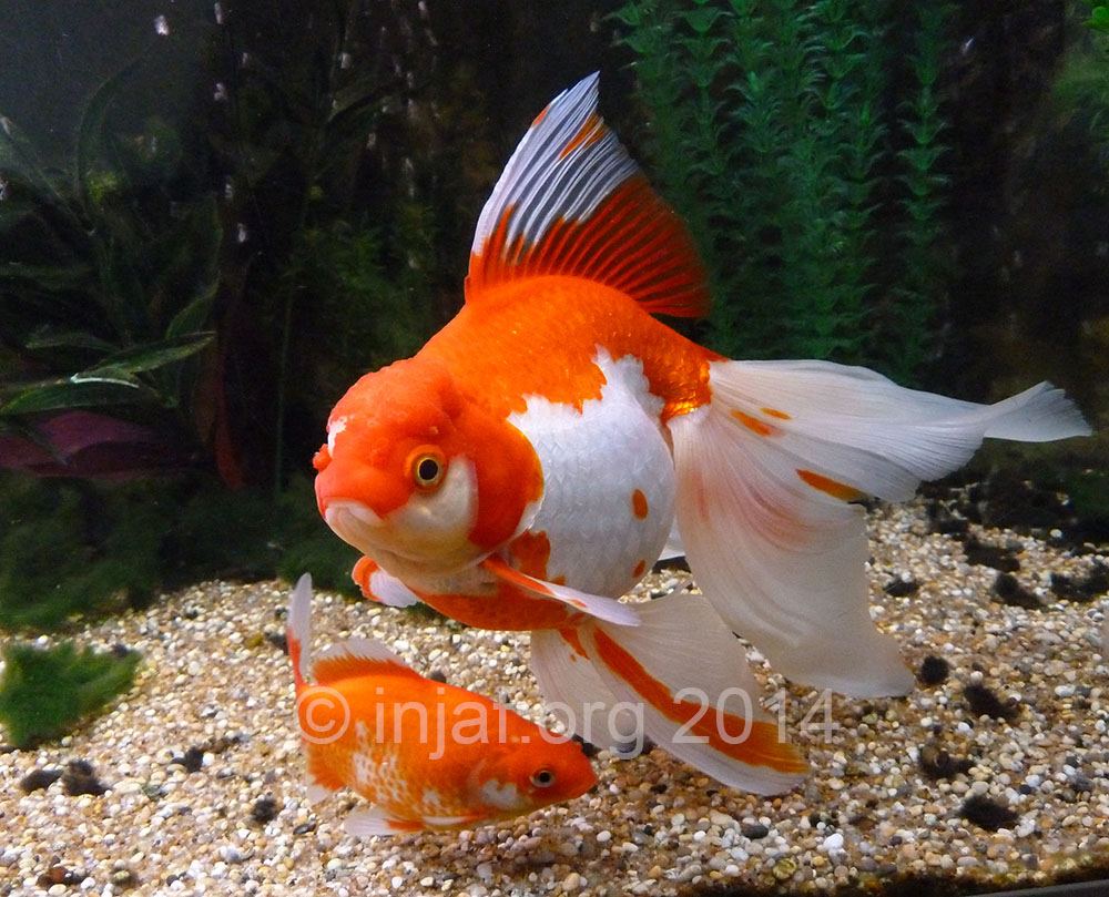 Fancy goldfish and swimbladder buoyancy problems injaf for Large aquarium fish
