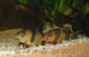 Clown loaches are popular yet can grow to up to 16 inches, they don't stay small like the little guy at the front for ever!