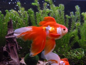 A fancy goldfish of the fantail variety