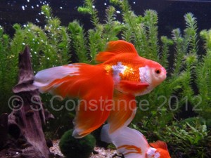 A fancy goldfish, note the long flowing fins and compact body shape