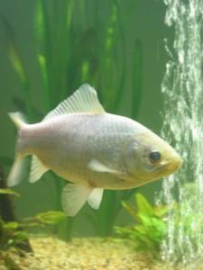 Vallisneria gigantica in a planted tank for goldfish