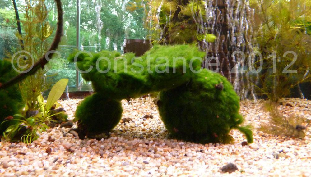 Planted Tanks for Goldfish - INJAF