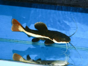 Red tailed catfish 'kitten' courtesy of fishtanksandponds.co.uk under creative commons licence