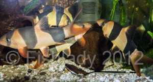 The vast majority of clown loaches are wild caught