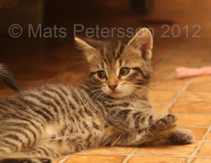 A kitten at the right age and size to be sold