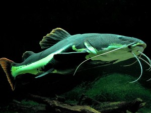 Adult red tailed catfish, copyright © Monika Betley, from wikimedia commons