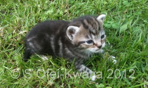 A very young kitten playing in some short grass