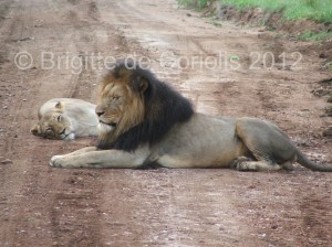 Zero the lion lying on a landrover track - you can just see the recent tyre marks under his front paws and rear end