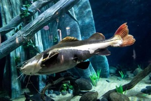 Gabriel the red tailed catfish lives at The Deep in Hull.