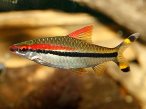 The red line torpedo barb (Puntius denisonii) is another example of a popular aquarium species which is under threat in its natural environment. Photo courtesy of fishtanksandponds.co.uk under creative commons