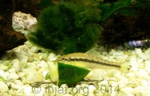 Algae eaters need supplementary food as well as algae, this 'Chinese algae eater' is enjoying some courgette