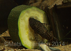 A juvenile bristlenose catfish - these are good algae eaters and stay at a manageable size