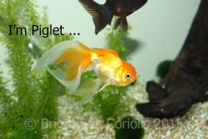 I'm not just a fish - I'm Piglet