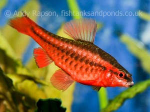 Cherry barbs are brightly coloured and busy busy busy - always something going on