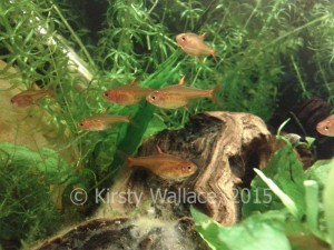 Ember tetra make a great gang and are fun for a child to watch