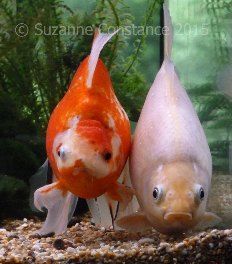 Fish in tank with goldfish - What Size Tank For Goldfish