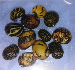 Nerite snails – perfect for your little hippie chicks!