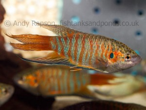 Paradise fish are colourful alternative to Siamese Fighting Fish