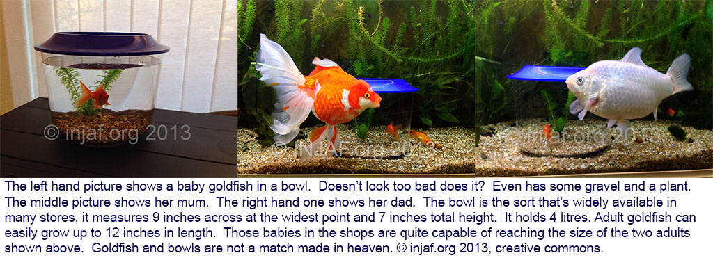 Why goldfish bowls are not suitable for goldfish