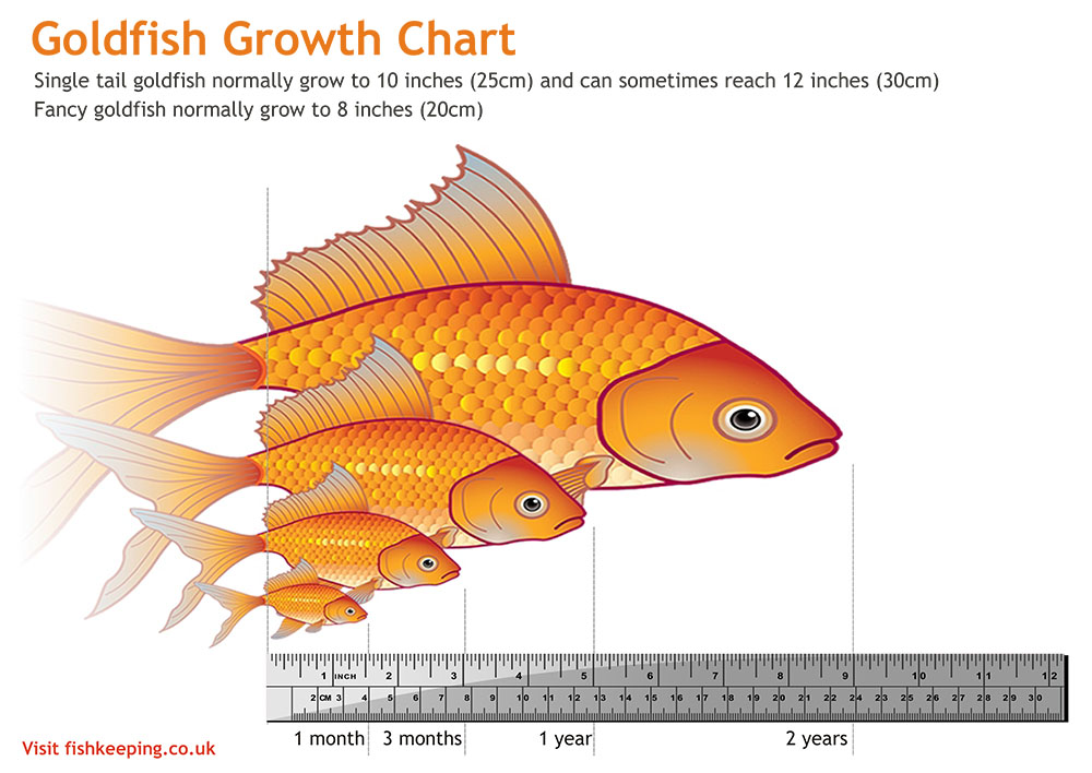 Goldfish growth chart
