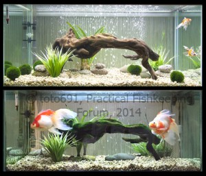Before and after - goldfish as babies and 18 months later