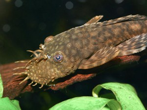 Bristlenose catfish are excellent alternatives to the larger 'plec' species