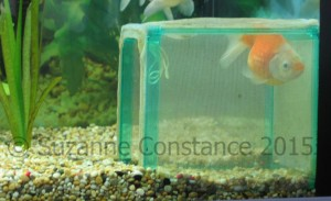 This fancy goldfish was prone to floating, she learnt to use a fry net placed on its side as a resting place