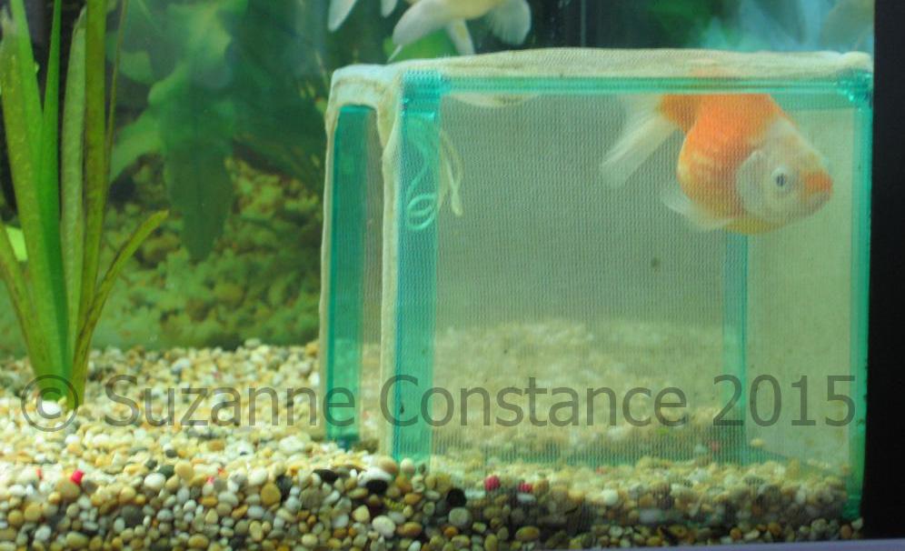 Fancy goldfish and swimbladder/buoyancy problems - INJAF
