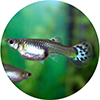 Adult guppies can be surprisingly large - the babies in the shops are babies!