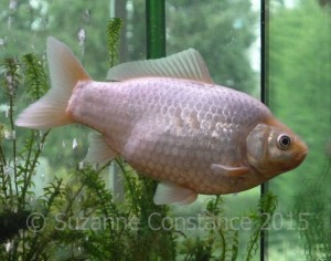 A singletail, or common goldfish