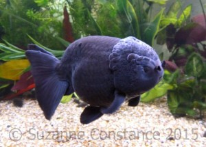 A black ranchu fancy goldfish, note the lack of dorsal fin, compact body shape, twin tail and head growth