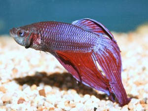 Betta splendens, or Siamese Fighting Fish, are popular but problematic
