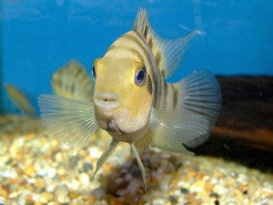 Convict cichlids are a more manageable alternative to Oscars