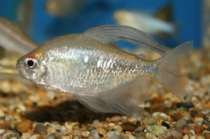 Diamond Tetra are a pretty silver species and make a lovely alternative to species such as silver sharks