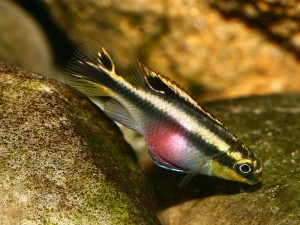 Kribensis are pretty cichlids with all the personality of an Oscar