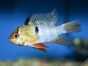 Ram cichlids are colourful but prone to problems