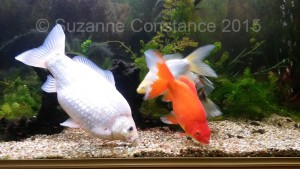 Singletail goldfish 'hoovering' the substrate for food