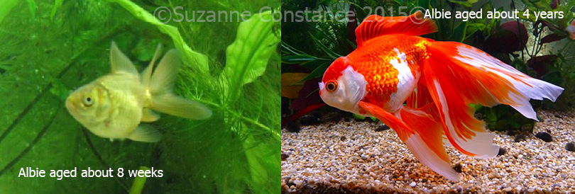 Baby fancy goldfish can grow large fins as well as large bodies!