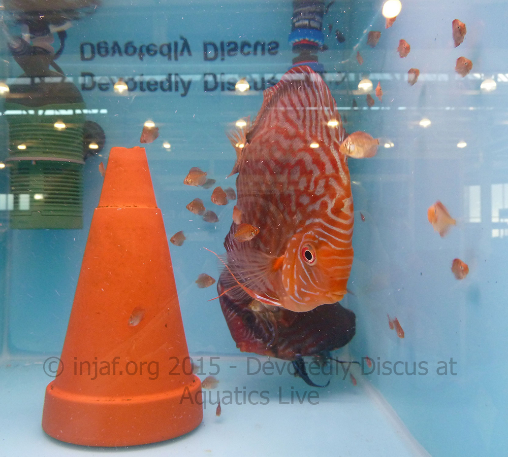 Freshwater aquarium fish by size - These Baby Discus And Their Mum Show The Difference In Size Between The Babies And Adults