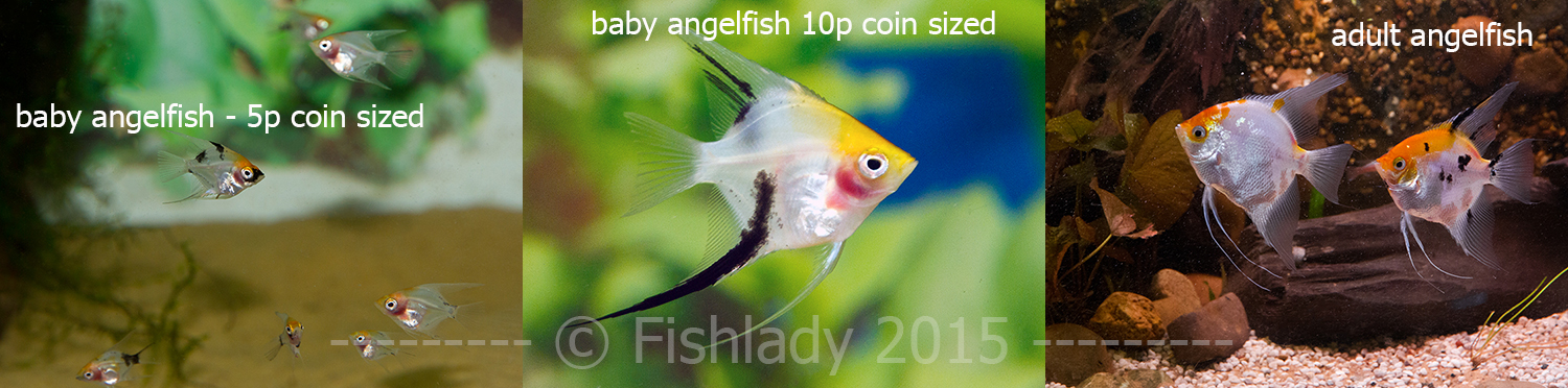 Angelfish start off as cute little coin sized fish, but soon grow ...
