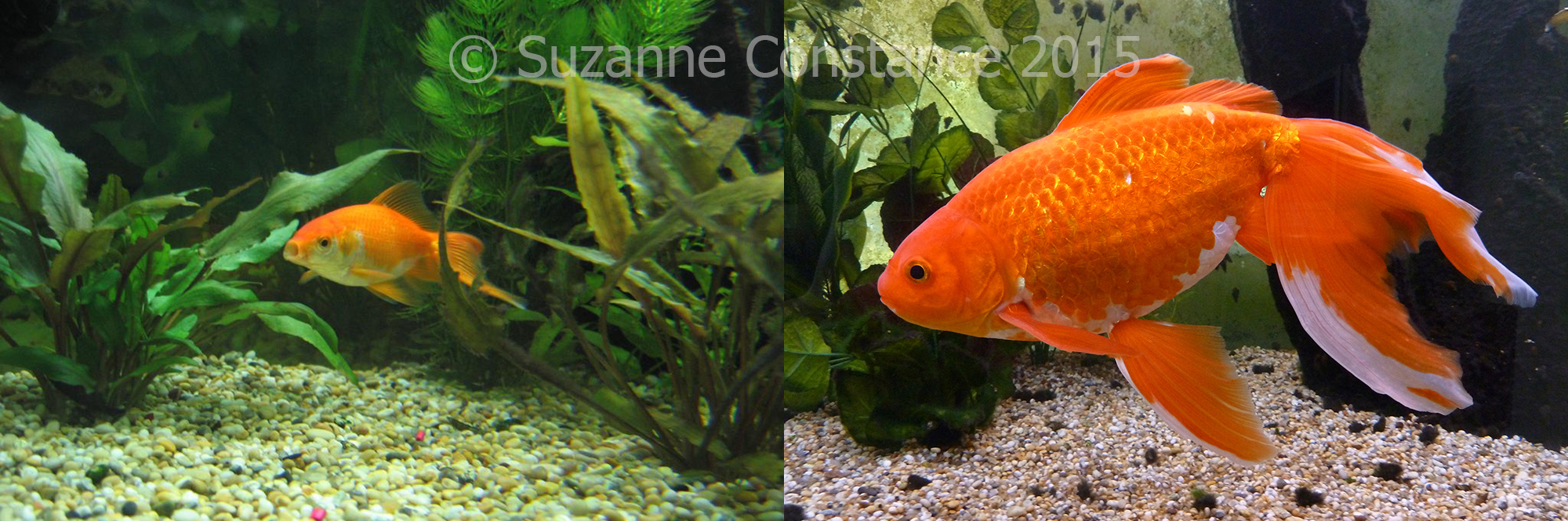 Freshwater aquarium fish by size - Pixie Was Only A Few Cm Long When He Arrived He Grew To Over 35cm