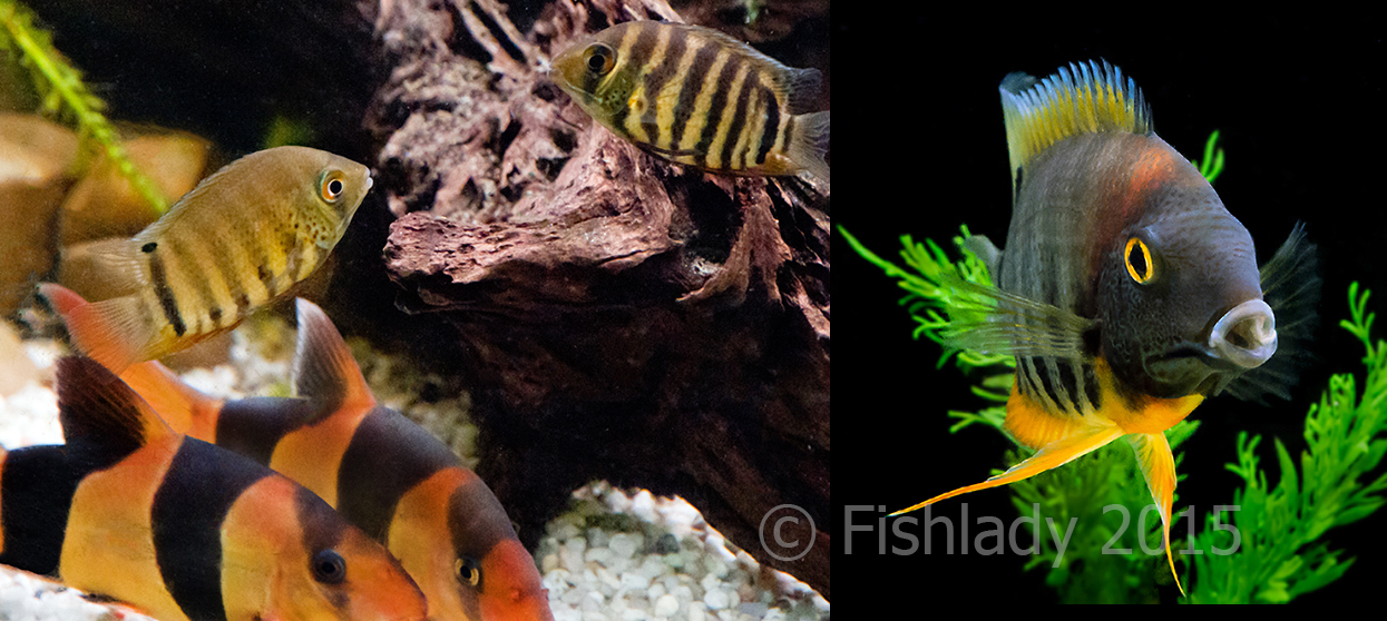 Rotkeil severums from 5cm drab juveniles to flashy adults 15cm long