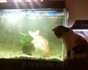 This photo shows Swimmie the goldfish next to a domestic cat - you can see the goldfish is a big chap!