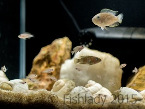 The 'seven stages of fish' - multiple generations of 'multies'