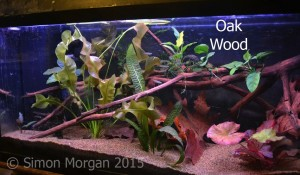 Oak wood can be collected and prepared for use in your aquarium