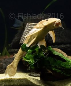 Hermione showing what a Pterygoplichthys pardalis should look liike