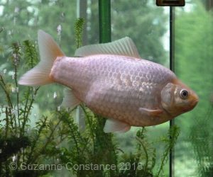 Howie: showing what a singletail goldfish should look like